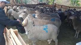 Qurbani sheep still available