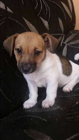 8 week old Female Jack russell X Fox terrier pup for sale