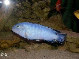 sprzedam rybki pyszczaki Pyszczak niebieski - Pseudotropheus socolofi