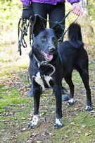 Piękna suczka w typie karelskiego psa do adopcji!