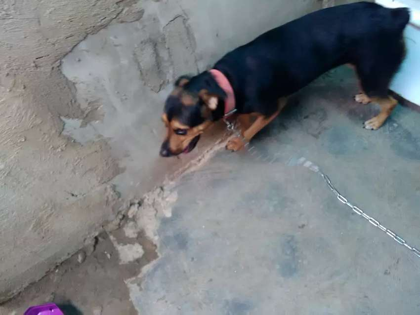 A yr old Female Rottweiler for sale 0