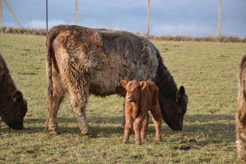 Kráva Galloway W75 TG C03 0