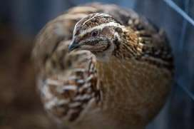 Giant and Goliath size quail