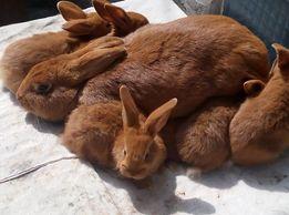новозеландские кролики красные