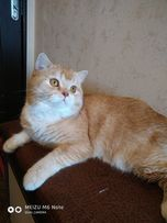 вязка с выставочным шотландским котом
