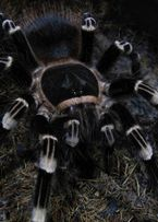 Паук-птицеед Acanthoscurria geniculata самка Л9-10