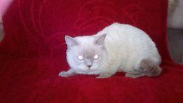 Родословная кота скоттиш-страйт: окрас лилак-поинт