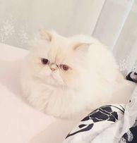 Вязка белого персидского гималайского котика