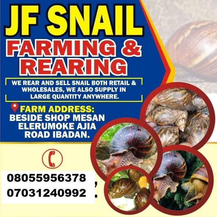 Healthy Snails for sale in Ibadan and Lagos Nigeria 0