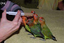Ручной попугай выкормыш Неразлучник
