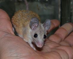 Иглистая мышка-ежик, акомис