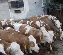 Czysto rasowe Byczki Cielęta