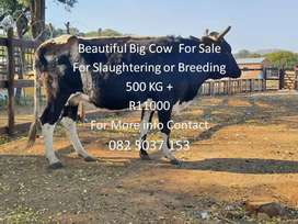 Beautiful Big Cow for sale