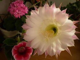 продам кактус эхинопсис и недорогие цветущие кактусы