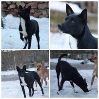 Потерялась черно-белая собака сука, Киевская область