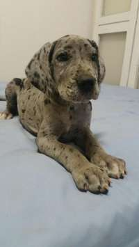 Image of Great Dane puppies (registered )