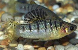 Лимия чернополосая Рыбка Аквариумная