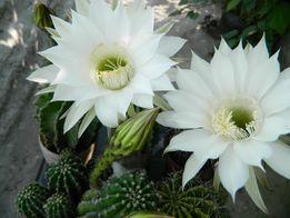 Кактус - Echinopsis.