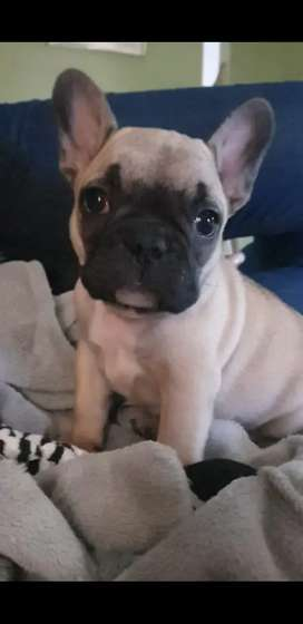 Quality imported bloodline Frenchies/ French Bulldog puppies for sale