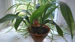 Аспидистра комнатное растение