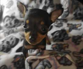 Teacup Miniature DOBERMAN Pinscher Female puppy