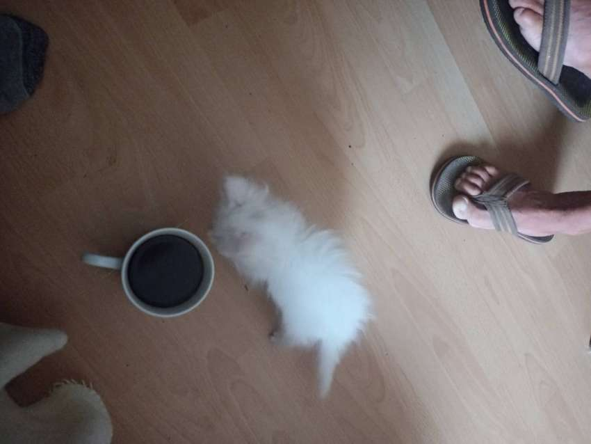 Ragdoll x persian kitten for sale 0