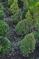 коника декоративное растения