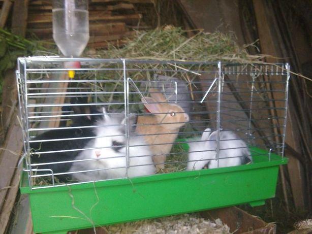 Декоративні кролики, декоративний кролик, карликовий кролик