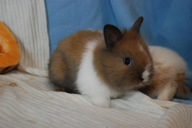 Кролики оптом . Декоративные карликовые кролики оптом