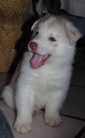 Beautiful RegisteredRegistered Siberian Husky Pups For sale