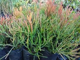 Firesticks - pencil cactus plants for sale