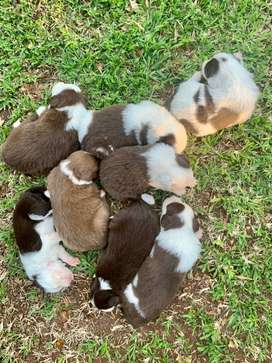 Border Collie Brown and White Pups
