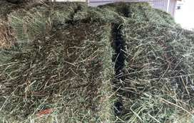 Beautiful Green lucerne/lusern for sale