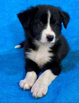 Beautiful Border-Collie puppies