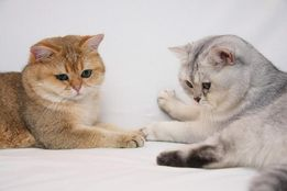 Британский котик приглашает на вязку, можно вислоушку, или прямоушку!