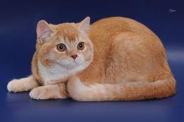 кот скоттиш страйт красный тикированный