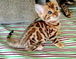 Бенгальский котенок в розетку на золоте,
