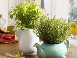 ароматные шалфей,розмарин,базилик,липпия-украшение кухни и участка