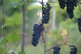 Саженцы и черенки неукрывных сортов винограла.
