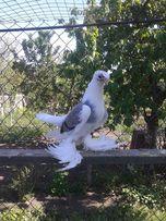 голуби бойні