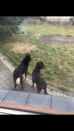 Zaginął Pies gończy polski Mostówka - image 1