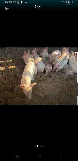 Piglets vaccinated R400 each