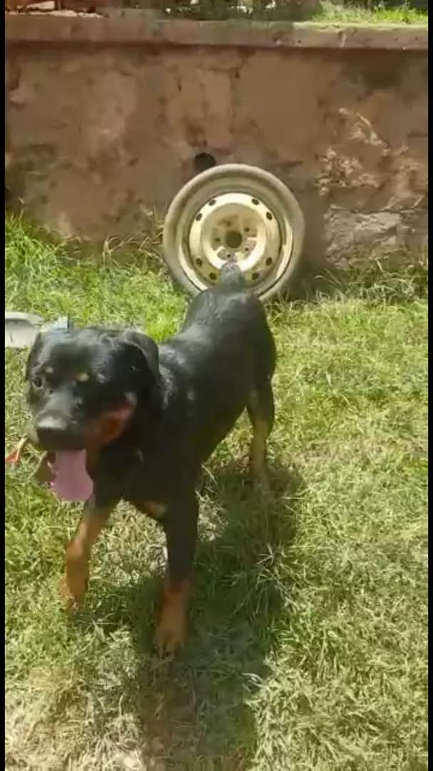 Rottweiler male trained 0
