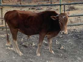 young bull for sale