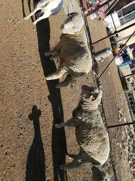 3 x sheep for sale