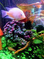 СРОЧНО Фламинго - красивая, редкая, социально активная рыбка. Аквариум