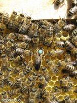 Пчёлы Карпатка: пчелиные плодные матки и пчелопакеты 2018г