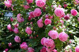 РАСПРОДАЖА крупных саженцев чайной розы (100 руб.)