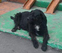 Киев, левый берег ! Потерялся собака! Нашедшему 2000 гр.