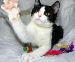 Милейший черно-белый котенок-мальчик ищет самую лучшую семью